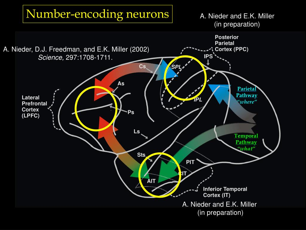 Number-encoding neurons