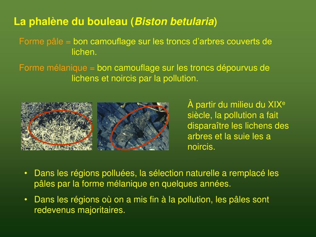La phalène du bouleau (