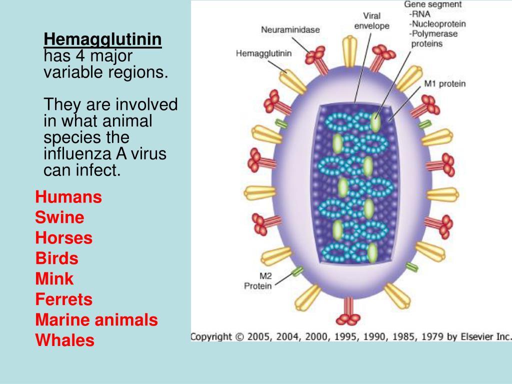 Hemagglutinin