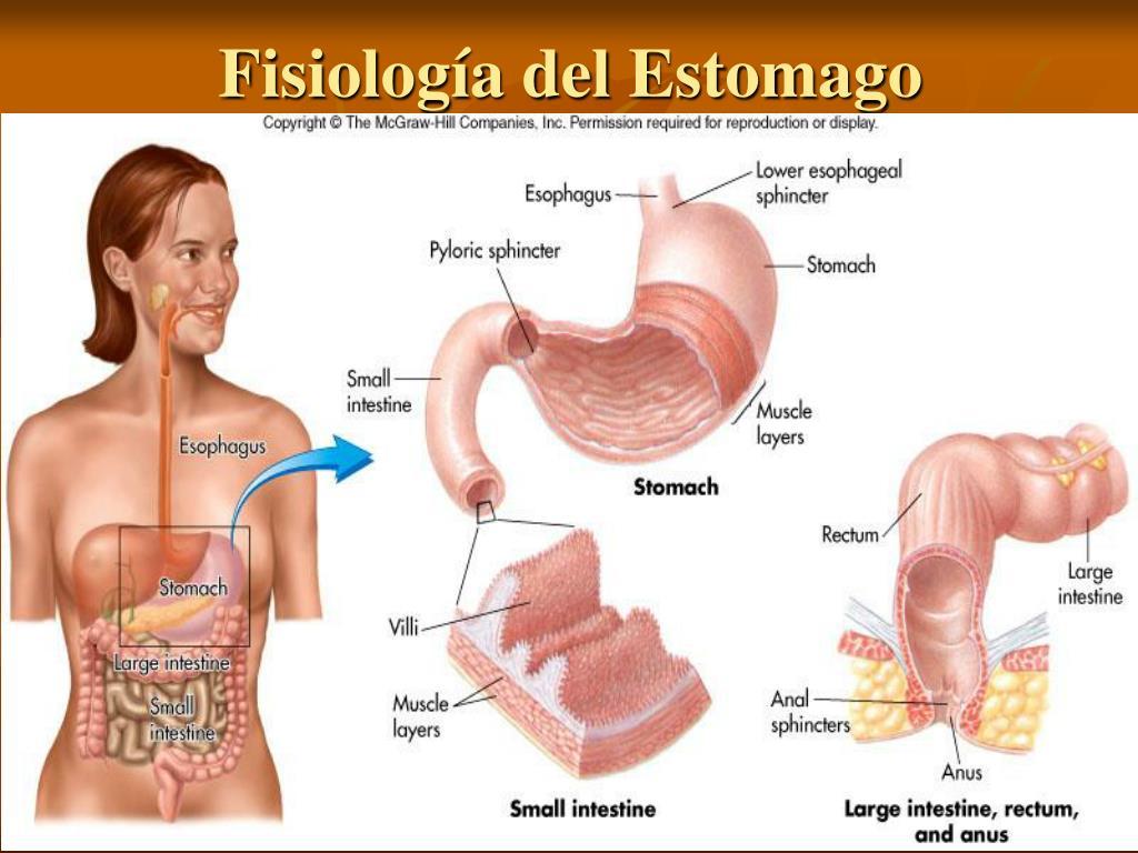 Fisiología del Estomago