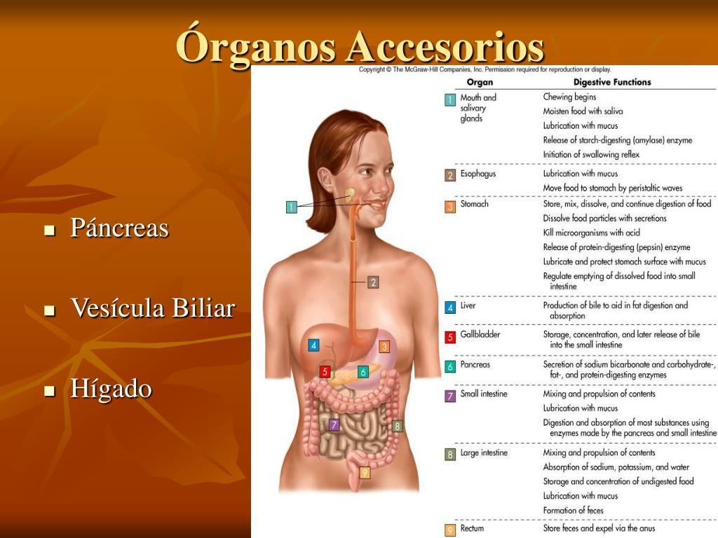 Órganos Accesorios
