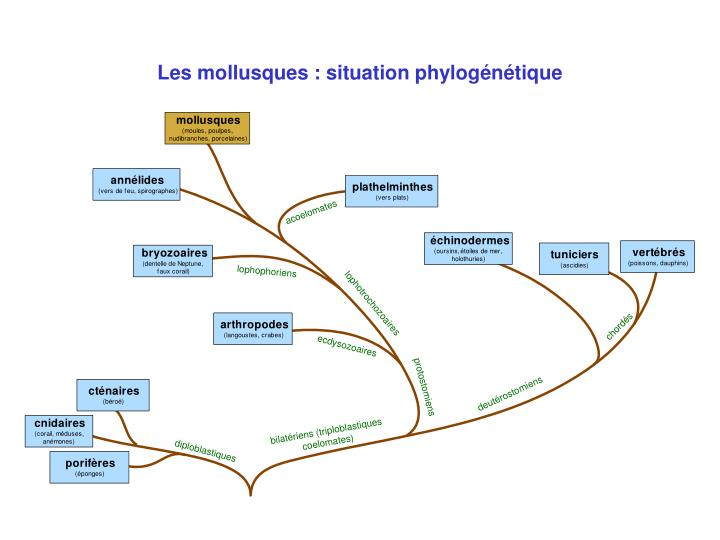 Les mollusques situation phylog n tique