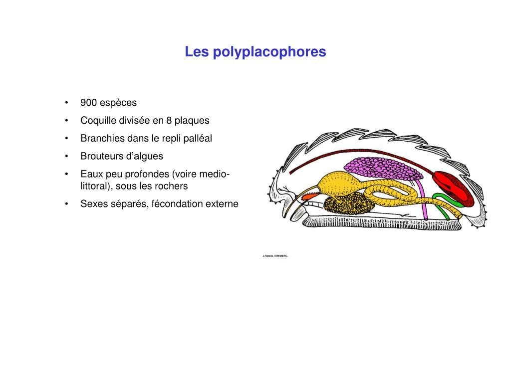 Les polyplacophores
