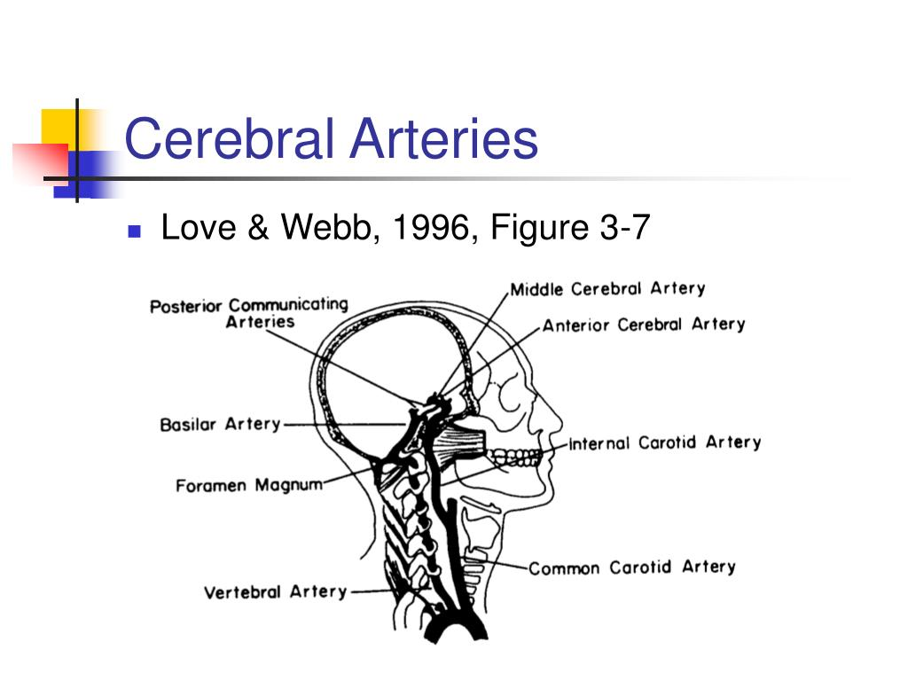 Cerebral Arteries