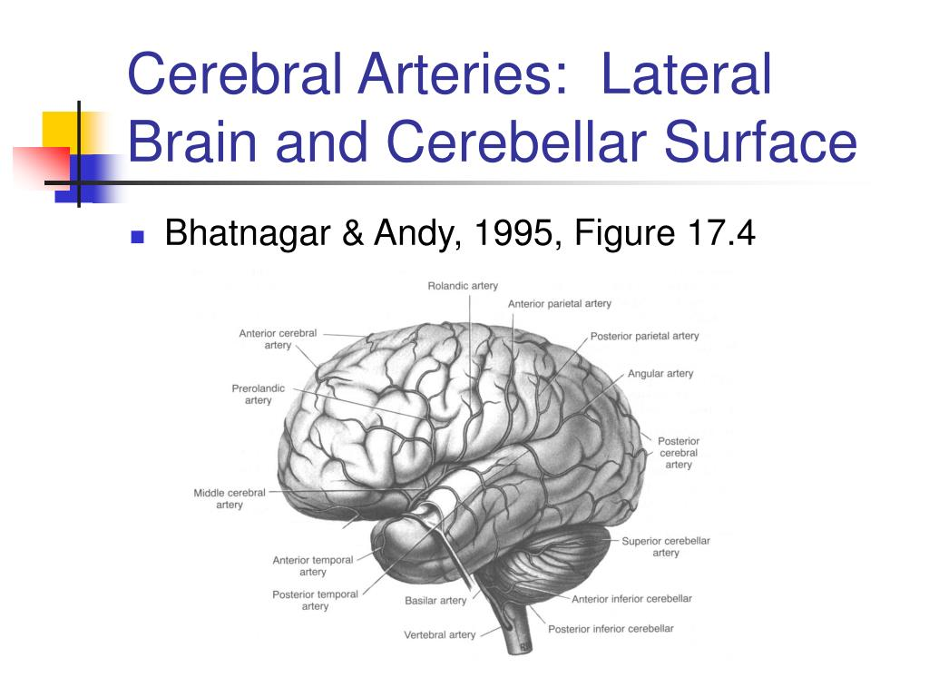 Cerebral Arteries:  Lateral Brain and Cerebellar Surface