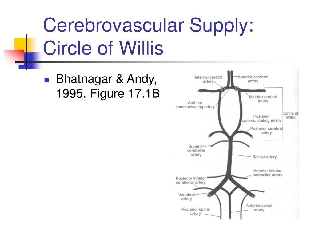 Cerebrovascular Supply:  Circle of Willis
