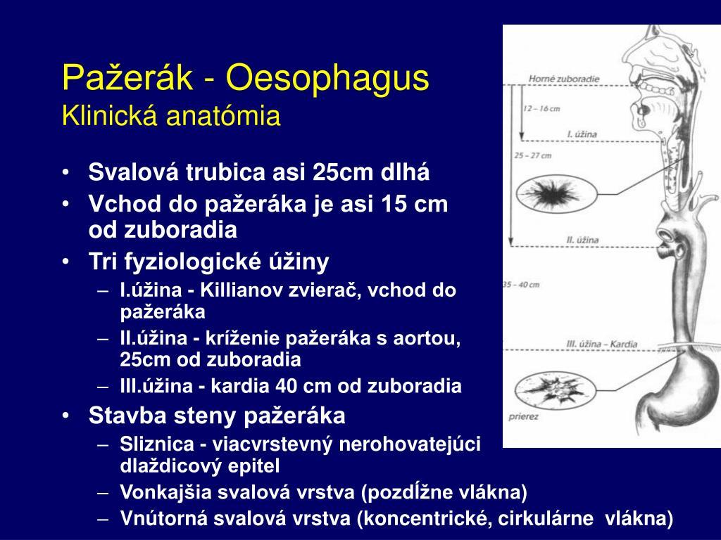 Pažerák - Oesophagus