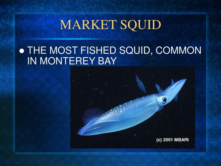 Market squid l.jpg