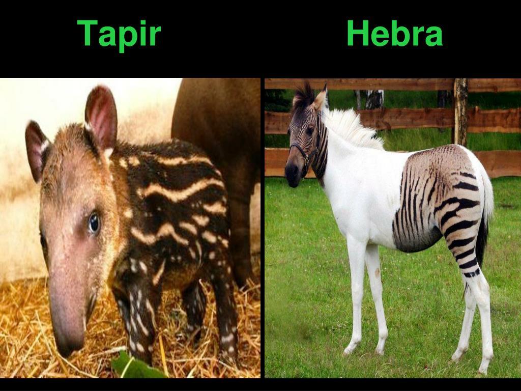 Tapir                   Hebra