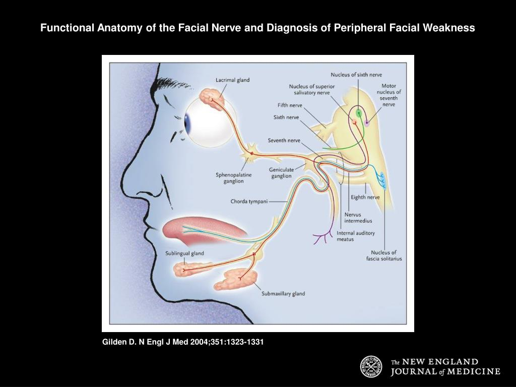 Functional Anatomy of the Facial Nerve and Diagnosis of Peripheral Facial Weakness