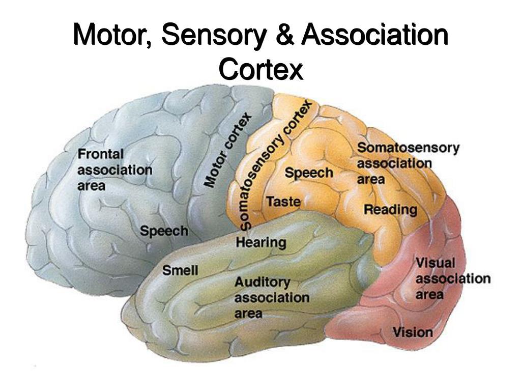 Motor, Sensory & Association Cortex
