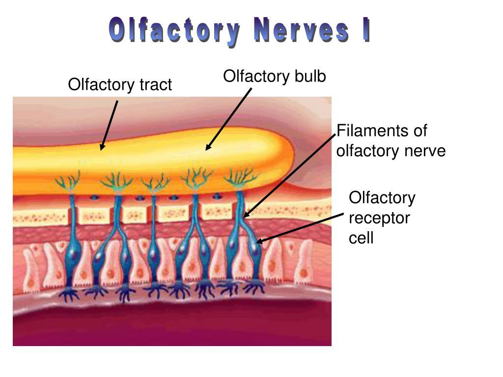 Olfactory Nerves I
