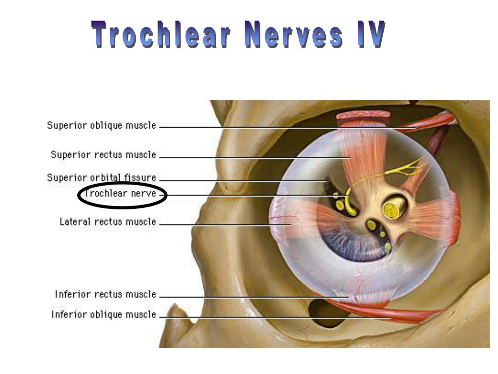 Trochlear Nerves IV