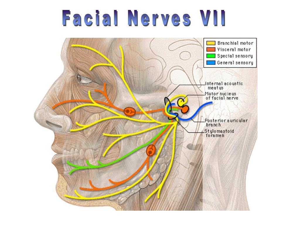 Facial Nerves VII