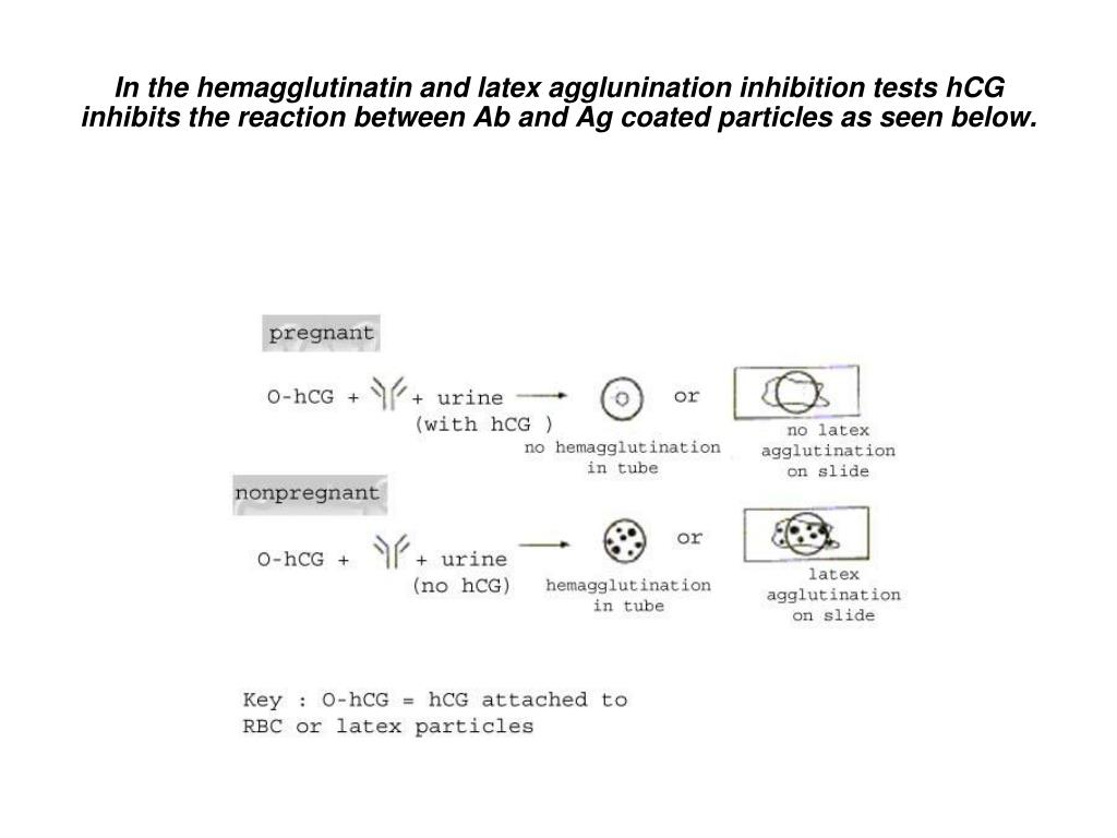 In the hemagglutinatin and latex agglunination inhibition tests hCG inhibits the reaction between Ab and Ag coated particles as seen below.