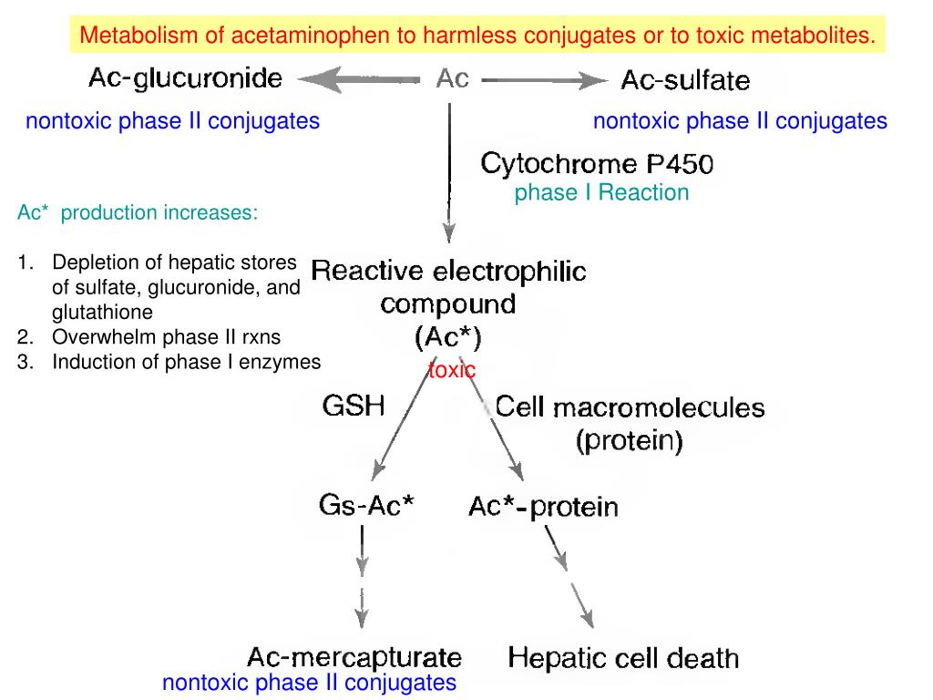 Metabolism of acetaminophen to harmless conjugates or to toxic metabolites.