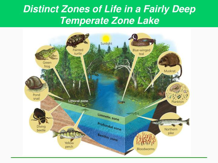 Distinct Zones of Life in a Fairly Deep Temperate Zone Lake