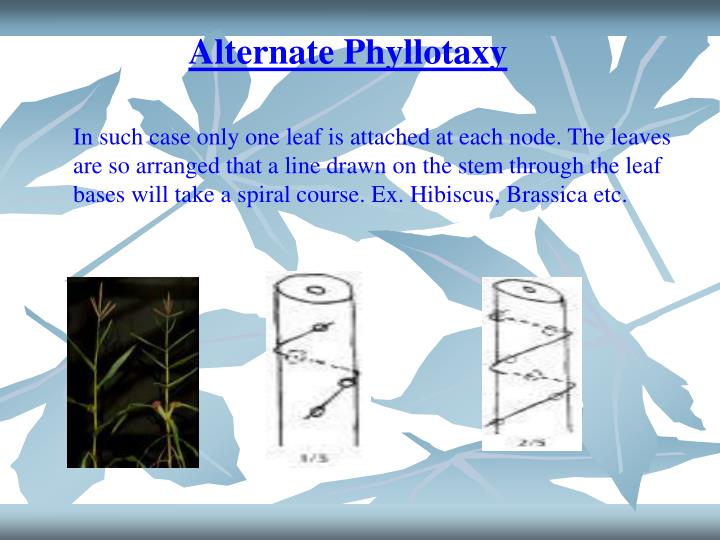 Alternate Phyllotaxy
