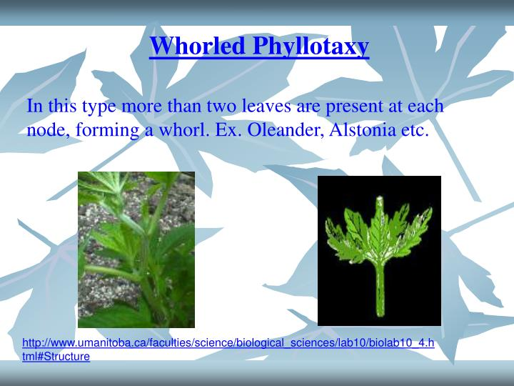 Whorled Phyllotaxy