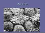 ampulla1