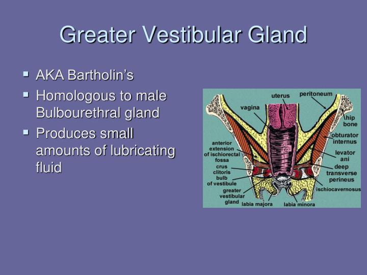 Greater Vestibular Gland