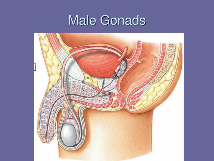 Male Gonads