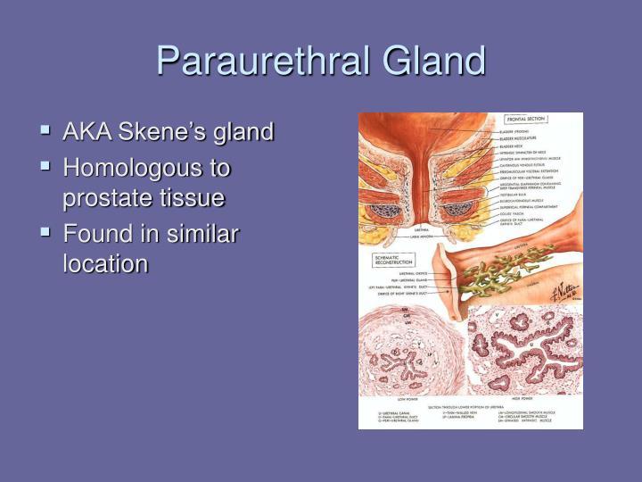 Paraurethral Gland