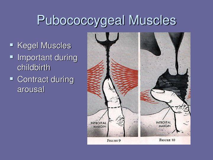 Pubococcygeal Muscles