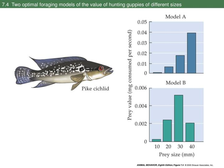 7.4  Two optimal foraging models of the value of hunting guppies of different sizes