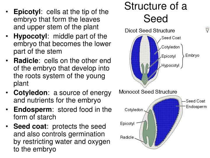 Structure of a Seed