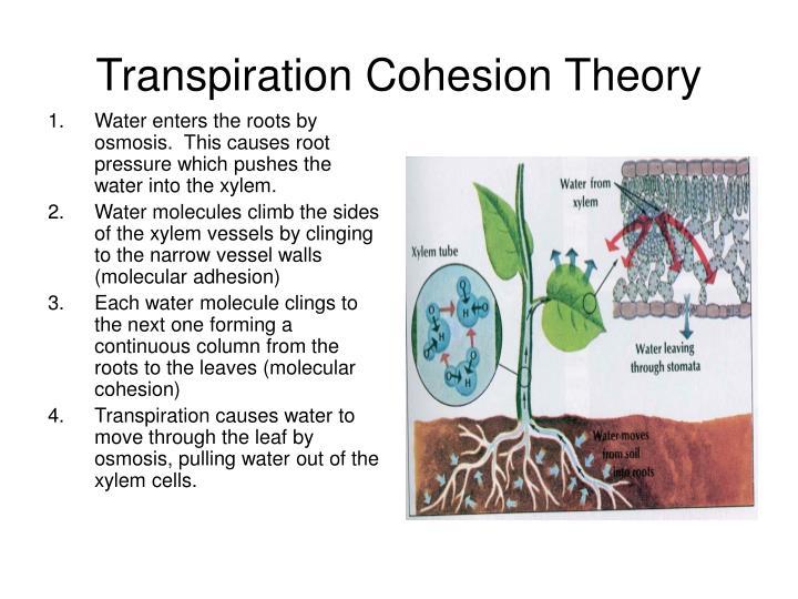 Transpiration Cohesion Theory