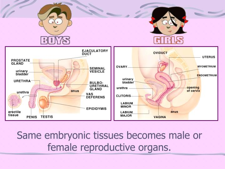 Same embryonic tissues becomes male or female reproductive organs.