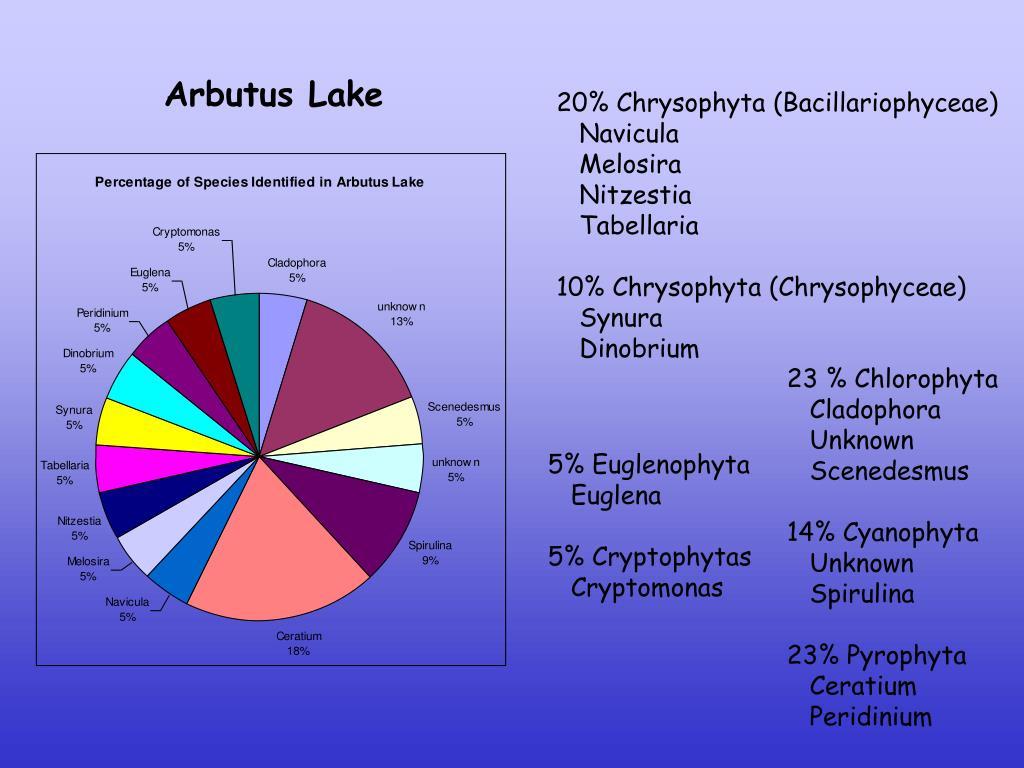 20% Chrysophyta (Bacillariophyceae)