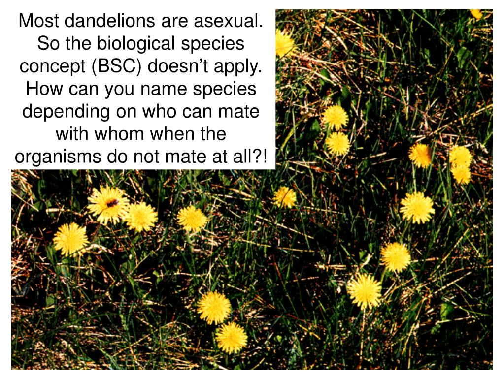 Most dandelions are asexual.  So the biological species concept (BSC) doesn't apply.