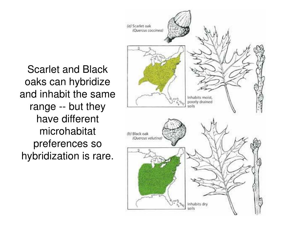 Scarlet and Black oaks can hybridize and inhabit the same range -- but they have different microhabitat preferences so hybridization is rare.