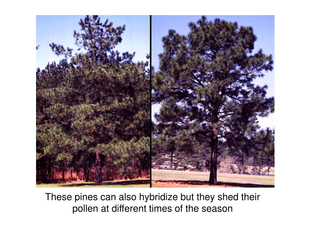 These pines can also hybridize but they shed their