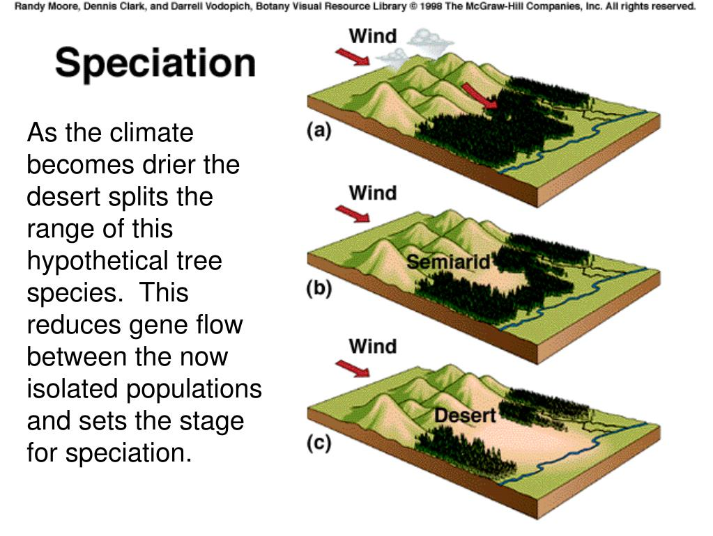As the climate becomes drier the desert splits the range of this hypothetical tree species.  This reduces gene flow between the now isolated populations and sets the stage for speciation.