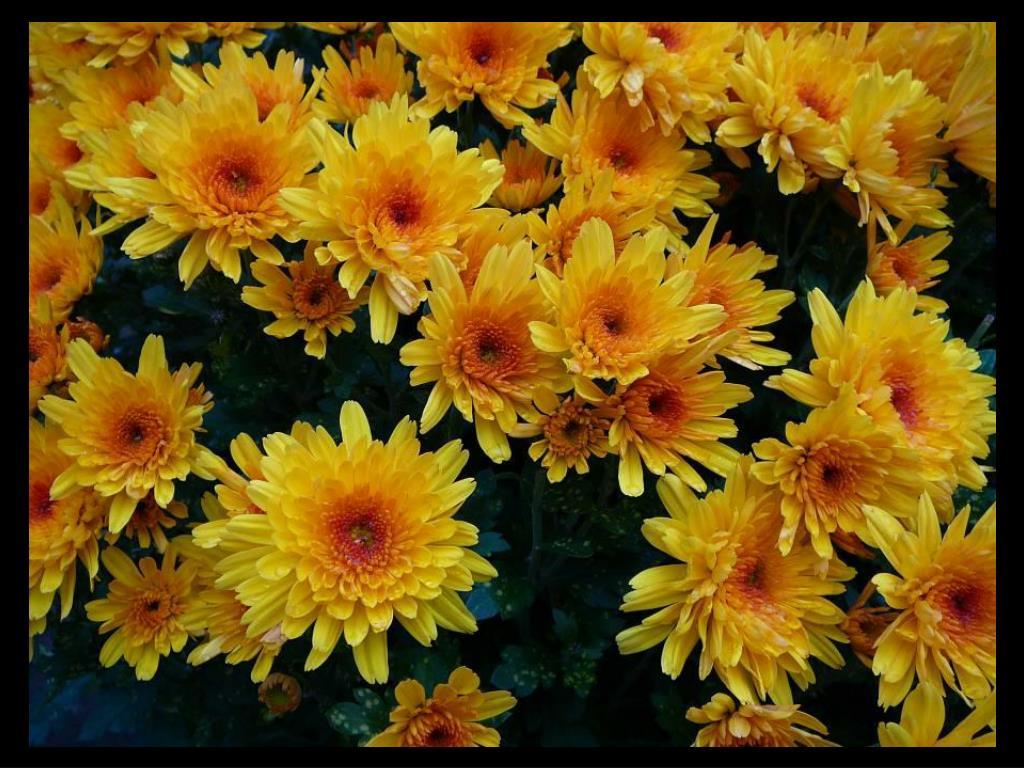 Chrysanthemum photo slideshow.