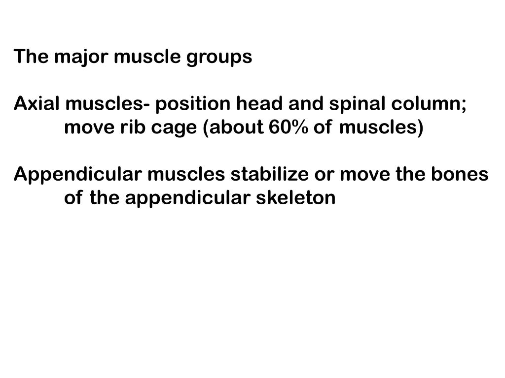 The major muscle groups