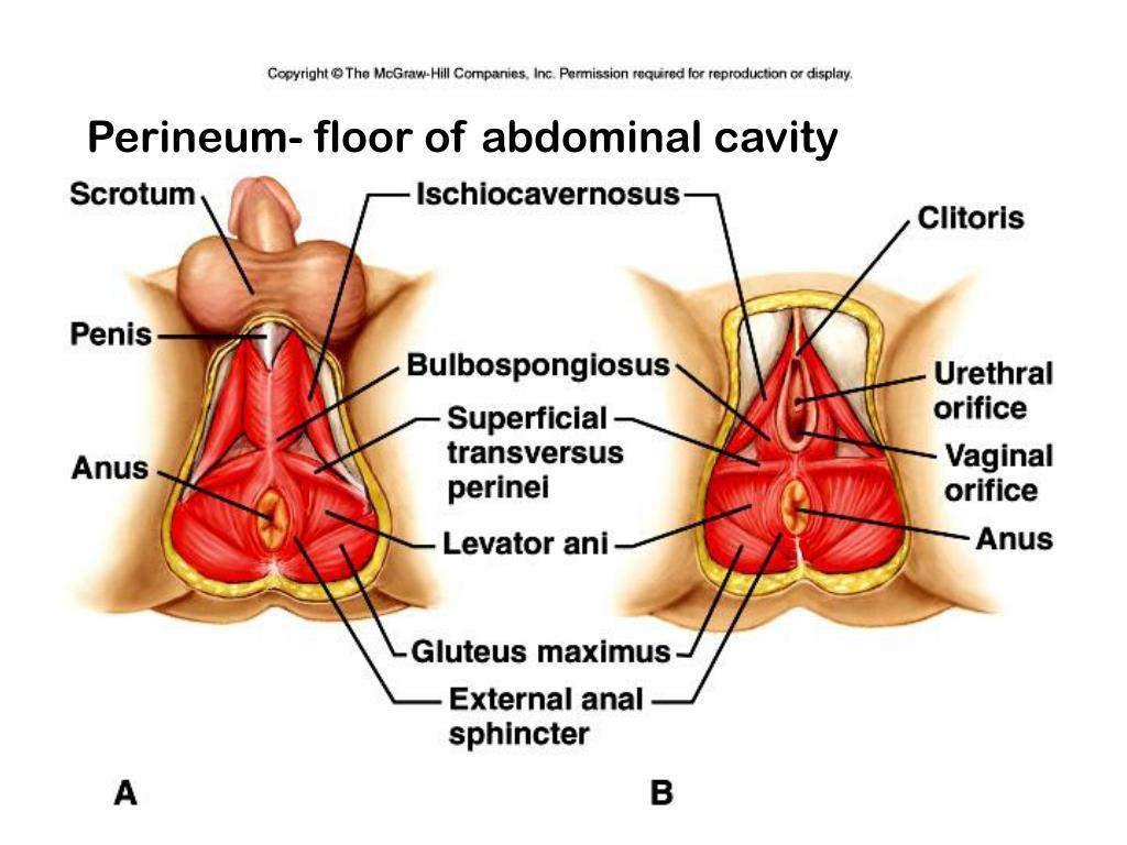 Perineum- floor of abdominal cavity