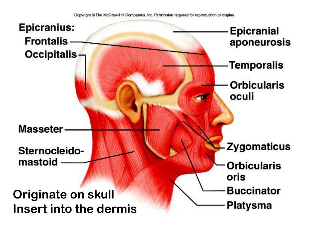 Originate on skull