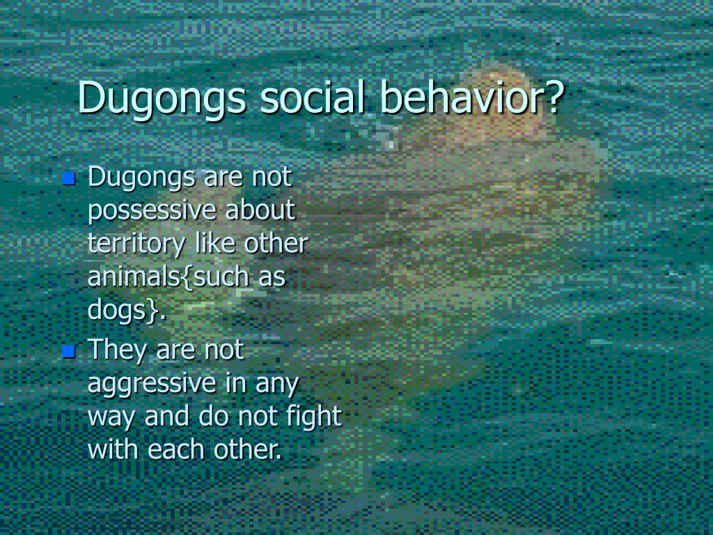 Dugongs social behavior?