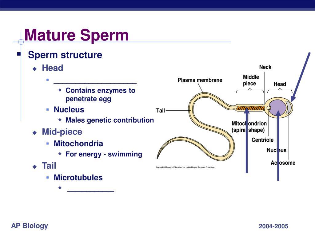 Mature Sperm