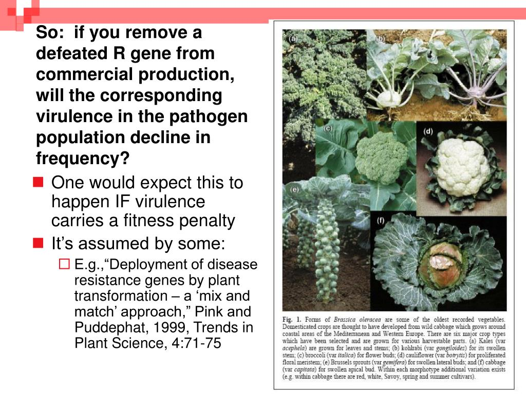 So:  if you remove a defeated R gene from commercial production, will the corresponding virulence in the pathogen population decline in frequency?