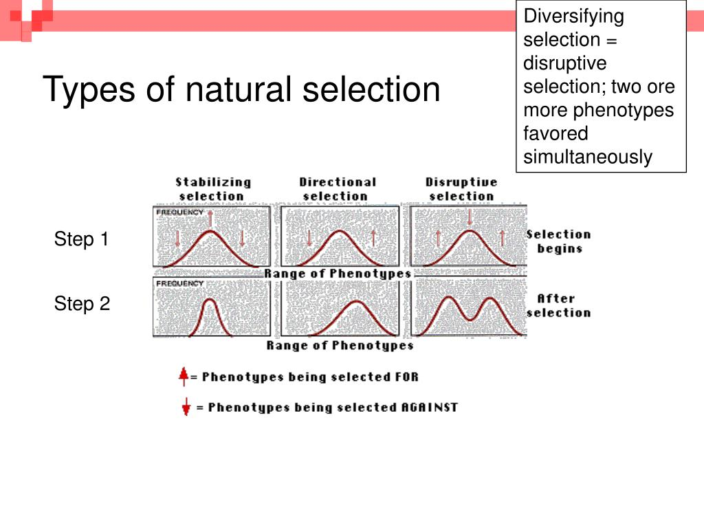 Diversifying selection = disruptive selection; two ore more phenotypes favored simultaneously