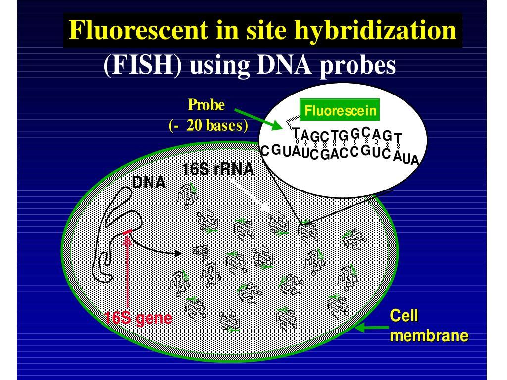 Fluorescent in site hybridization