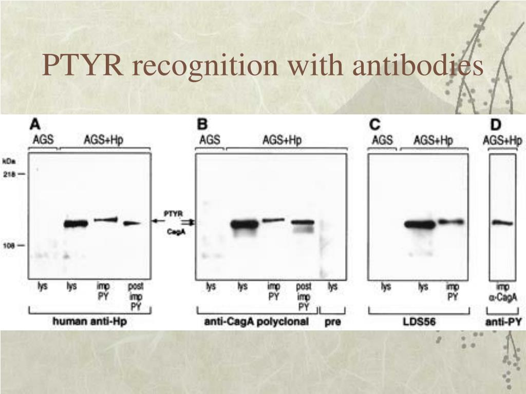 PTYR recognition with antibodies