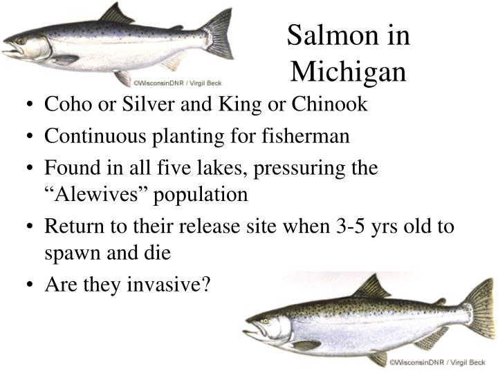 Salmon in Michigan