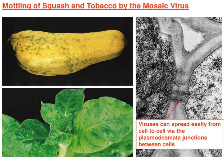 Mottling of Squash and Tobacco by the Mosaic Virus
