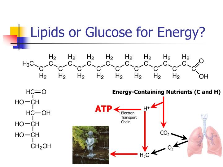 Lipids or Glucose for Energy?